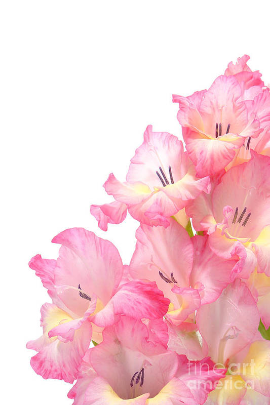 Gladiolas Poster featuring the photograph Gladiolus by Olivier Le Queinec