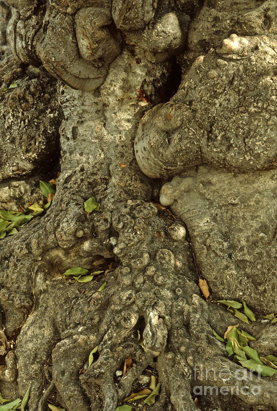 Tree Bark Poster featuring the photograph Gnarled Haitian Tree Trunk by Anna Lisa Yoder
