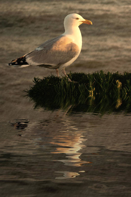 Sea Birds Poster featuring the photograph Golden Gull by Sharon Lisa Clarke