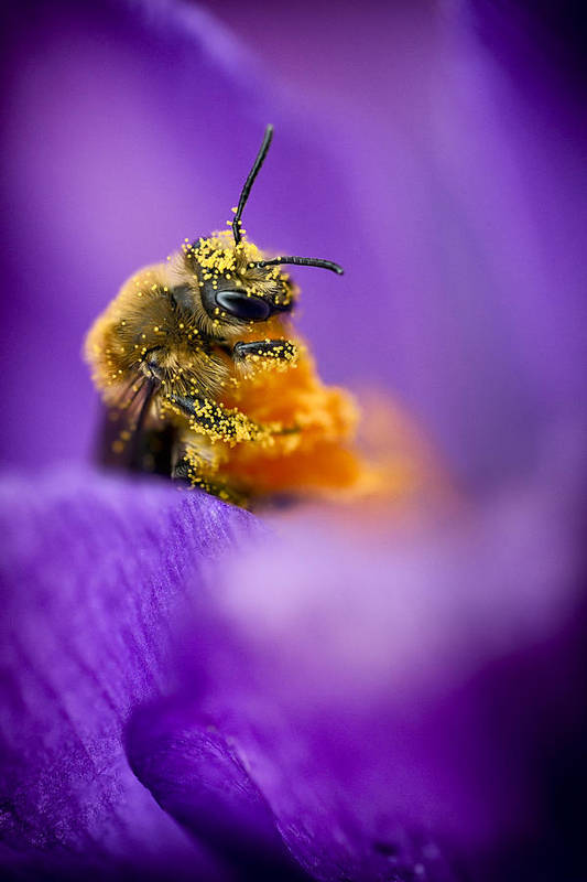 3scape Photos Poster featuring the photograph Honeybee Pollinating Crocus Flower by Adam Romanowicz
