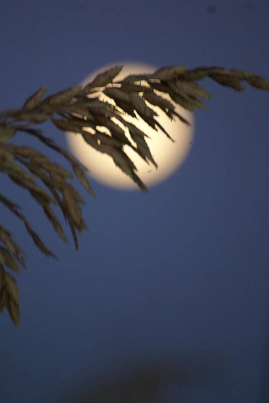 Moonlight Poster featuring the photograph Moonlight Sea Oat by Glenda Barber