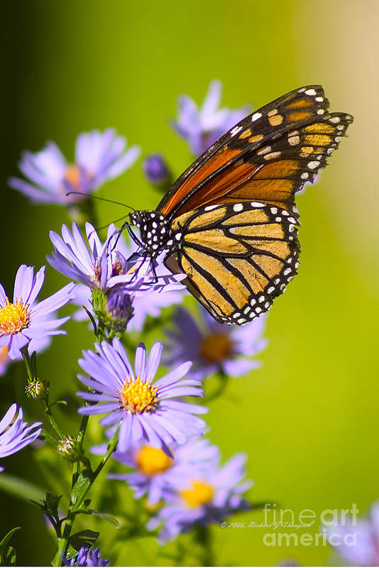 Butterfly Poster featuring the photograph Old Butterfly On Aster Flower by Richard J Thompson