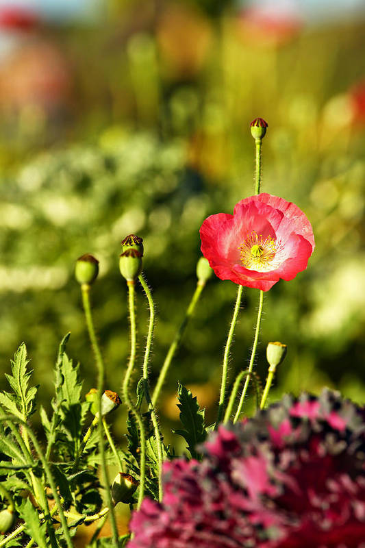 Opium Poster featuring the photograph Opium Poppy by Suradej Chuephanich