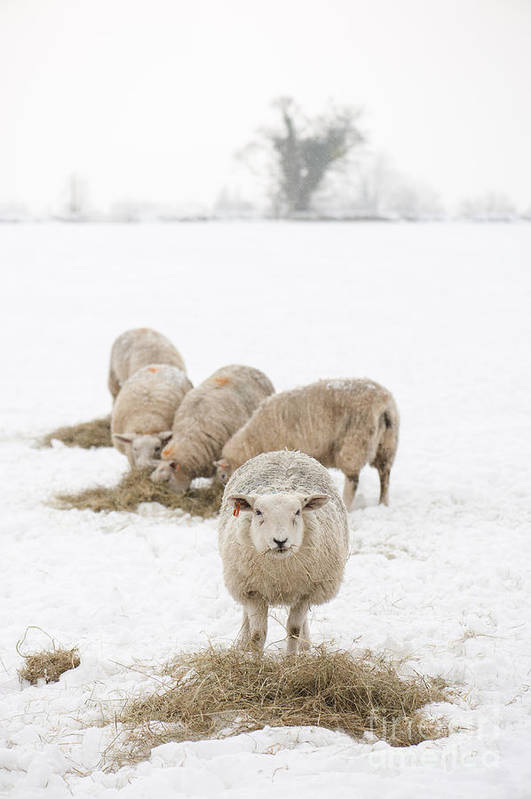 2013 Poster featuring the photograph Snowy Sheep by Anne Gilbert