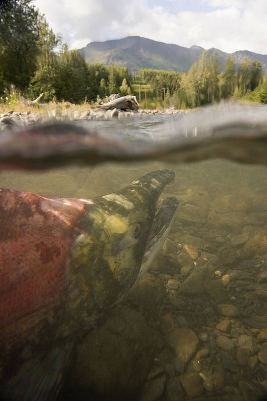 Dickerson Poster featuring the photograph Spawned Out Sockeye Salmon In Quartz by Scott Dickerson