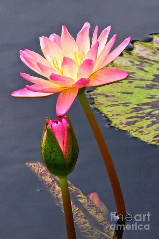 Tropical Waterlilies Poster featuring the photograph Tall Waterlily Beauty by Byron Varvarigos