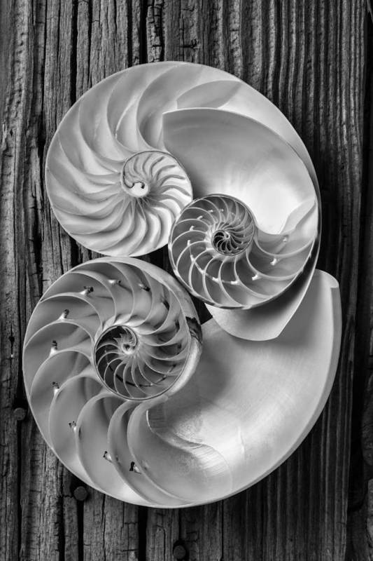 Three Chambered Nautilus Poster featuring the photograph Three Chambered Nautilus In Black And White by Garry Gay