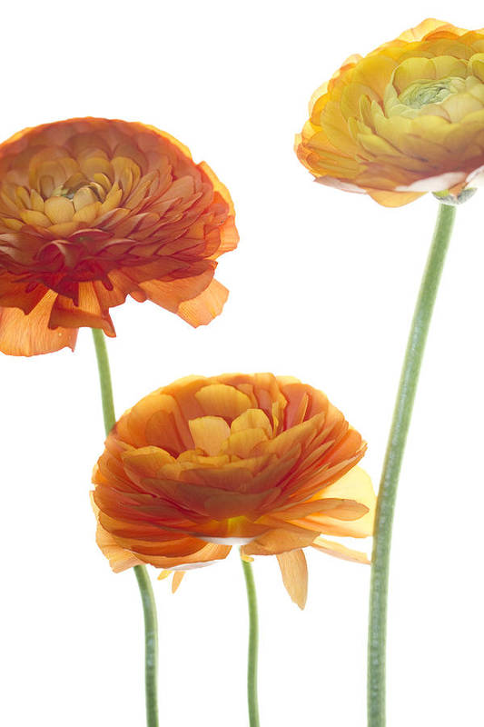 Ranunculus Poster featuring the photograph Three Raunuculus by Rebecca Cozart