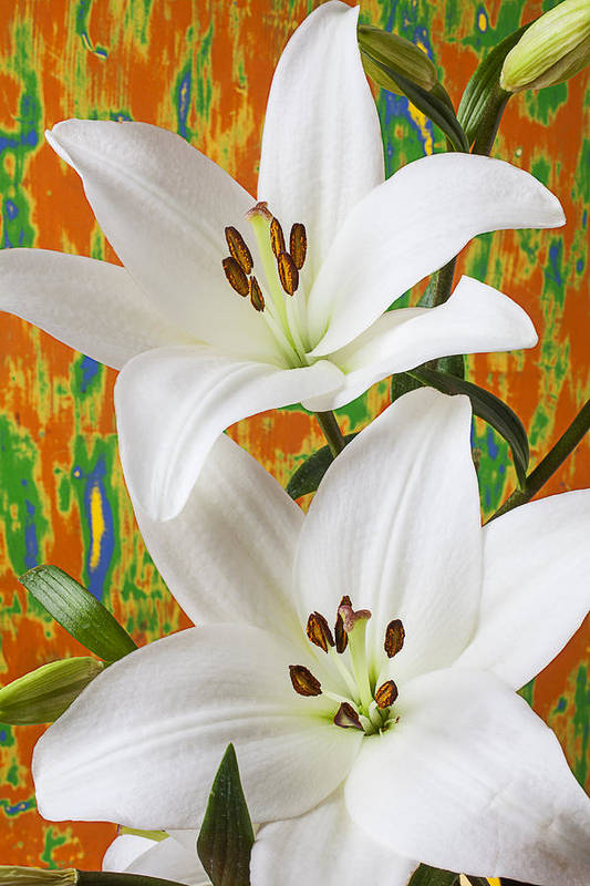 White Lily Poster featuring the photograph Two White Lilies by Garry Gay
