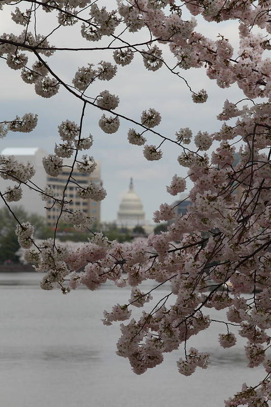 Attraction Poster featuring the photograph Us Capitol - Cherry Blossoms - Washington Dc - 01133 by DC Photographer