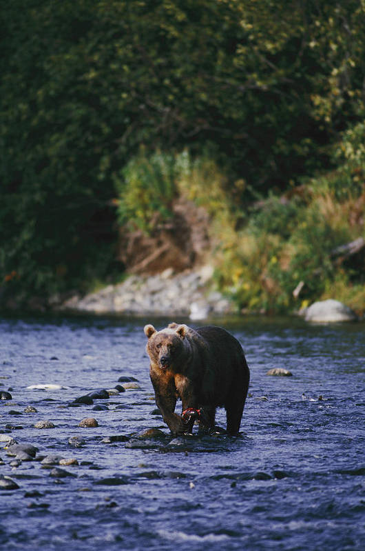 Kodiak Island Poster featuring the photograph A Kodiak Brown Bear Ursus Middendorfii by George F. Mobley