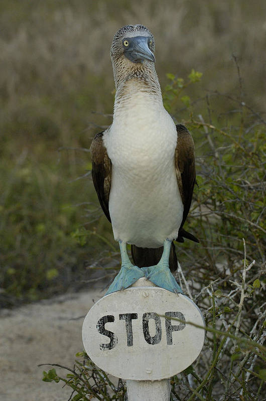 Mp Poster featuring the photograph Blue-footed Booby Sula Nebouxii by Pete Oxford
