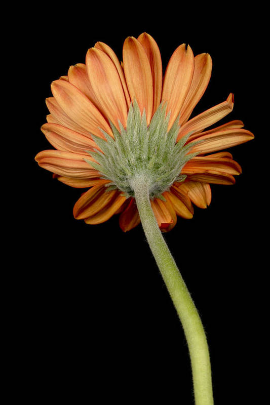 Blooming Poster featuring the photograph Orange Gerber by Al Hurley