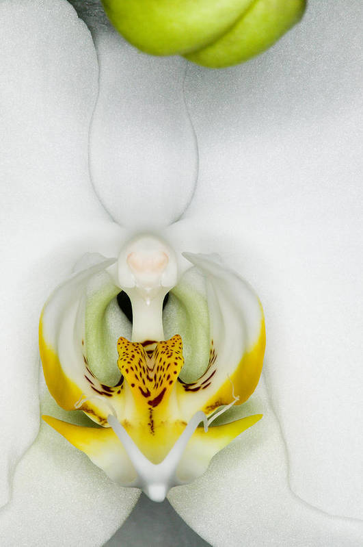 Orchid Poster featuring the photograph Exotic Orchids Of C Ribet by C Ribet