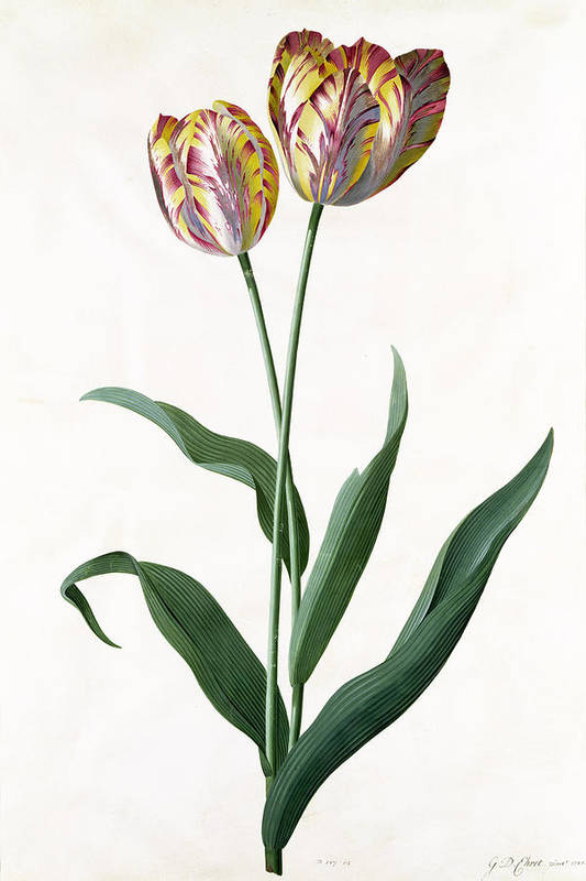 Flower; Flowers; Botanical Poster featuring the painting 5 Tulip Tulip by Georg Dionysius Ehret