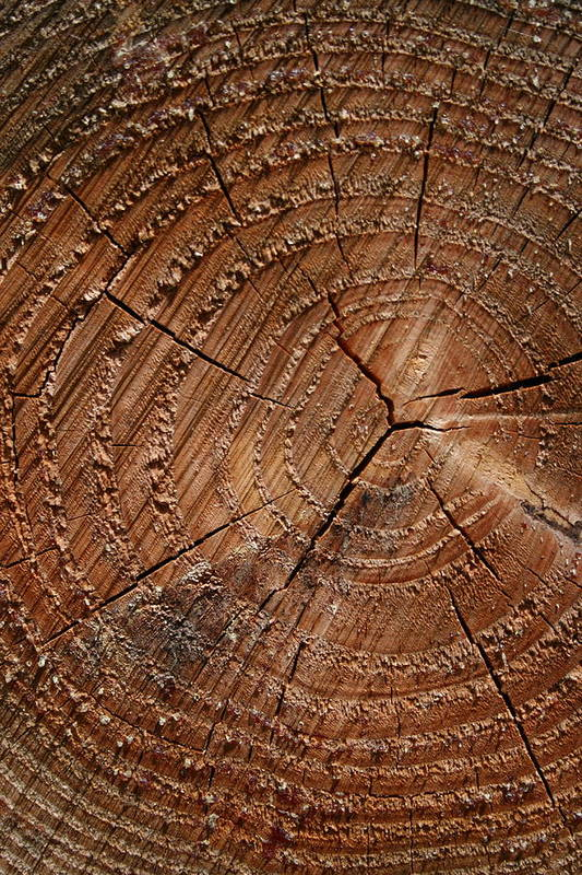 Vertical Poster featuring the photograph A Close Up Of Tree Rings by Sabine Davis