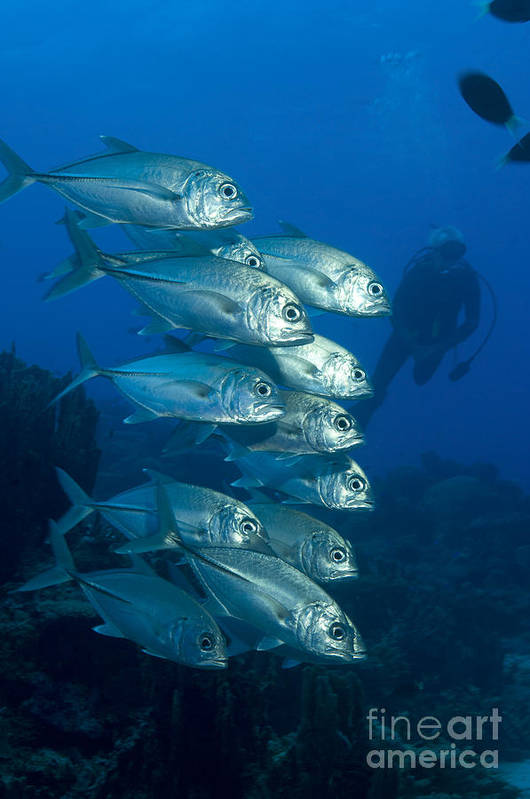 Carangidae Poster featuring the photograph A School Of Bigeye Trevally, Papua New by Steve Jones