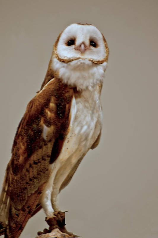 Usa Poster featuring the photograph Barn Owl Of Michigan by LeeAnn McLaneGoetz McLaneGoetzStudioLLCcom