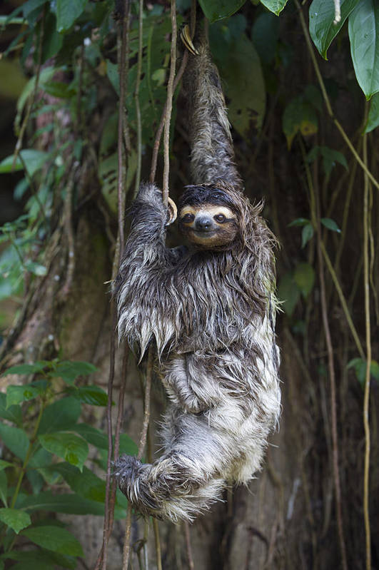 00456319 Poster featuring the photograph Brown Throated Three Toed Sloth Mother by Suzi Eszterhas