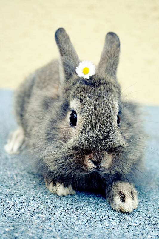 Kaninchen Poster featuring the photograph Bunny by Falko Follert