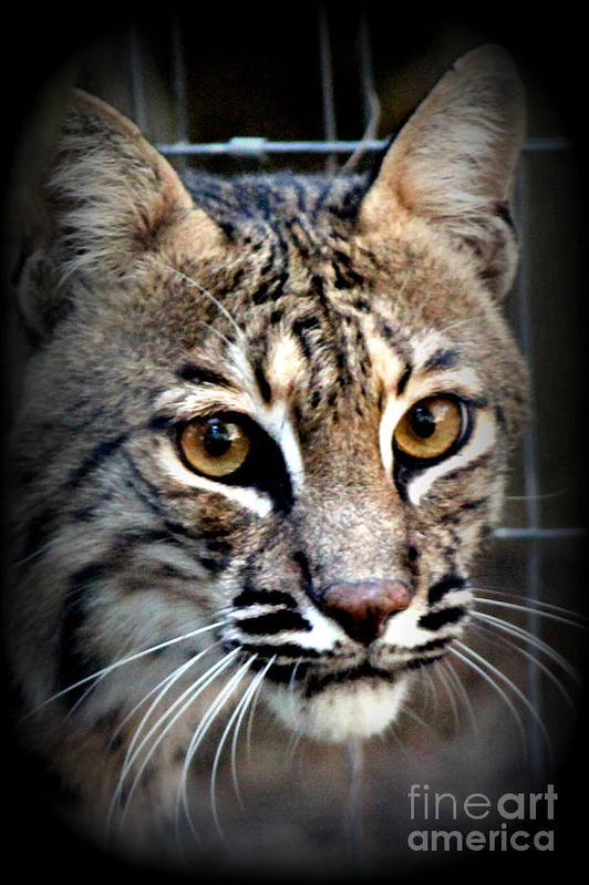 Wild Animals Poster featuring the photograph Cat Fever by Kathy White