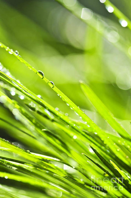 Grass Poster featuring the photograph Dewy Green Grass by Elena Elisseeva