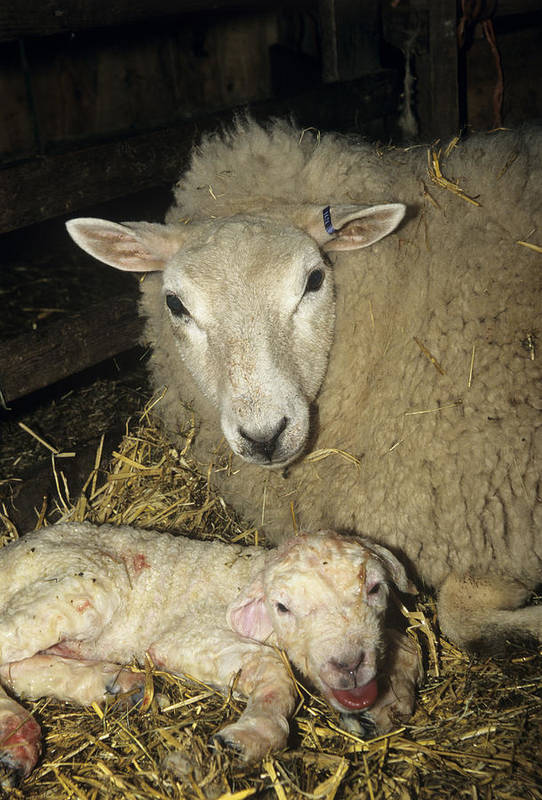Ovis Aries Poster featuring the photograph Ewe And New Born Lamb by David Aubrey