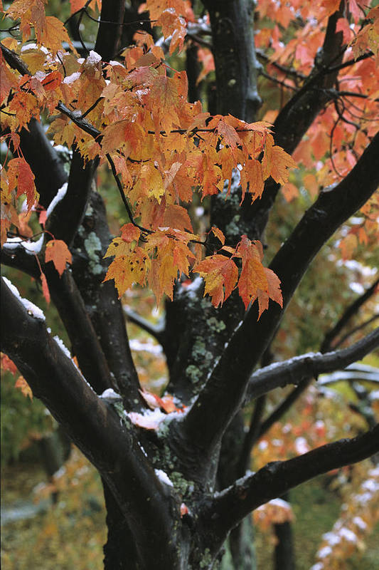 Outdoors Poster featuring the photograph Fall Foliage Of Maple Tree After An by Tim Laman