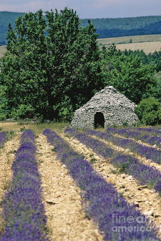 The Tourist Trade Poster featuring the photograph Field Of Lavender. Sault by Bernard Jaubert