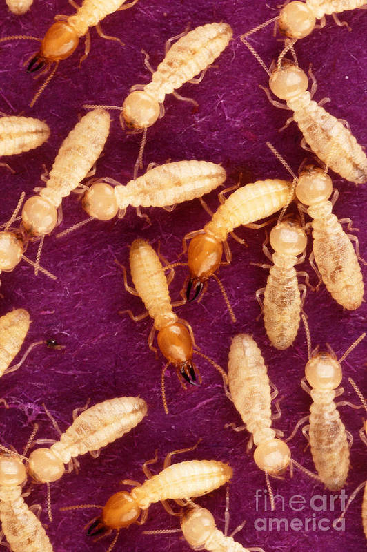 Formosan Termite Poster featuring the photograph Formosan Termites by Science Source