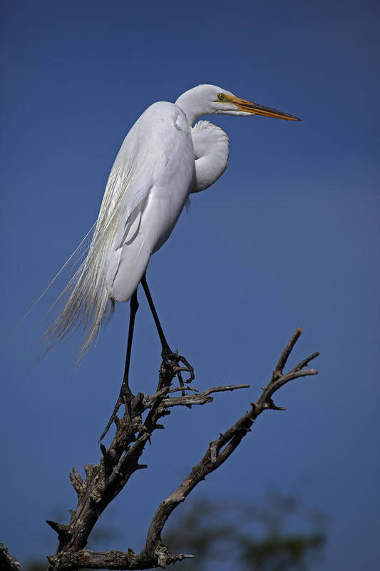 Day Poster featuring the photograph Great Egret, Casmerodius Albus, Perched by John Cancalosi
