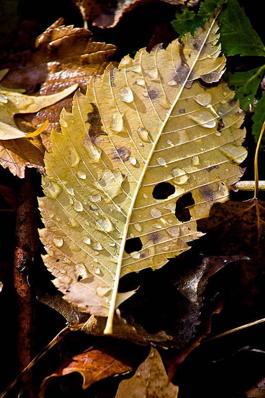 Water Droplets Poster featuring the photograph Leafy Tears by Burney Lieberman