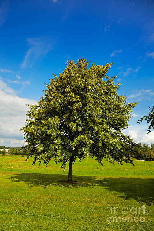 Beautiful Poster featuring the photograph Lime Tree In Summer by Gabriela Insuratelu