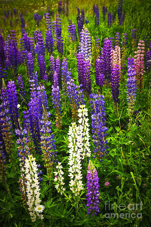Flowers Poster featuring the photograph Lupins In Newfoundland Meadow by Elena Elisseeva