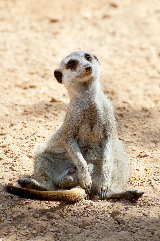 Cute Poster featuring the photograph Meerkat by Fabrizio Troiani
