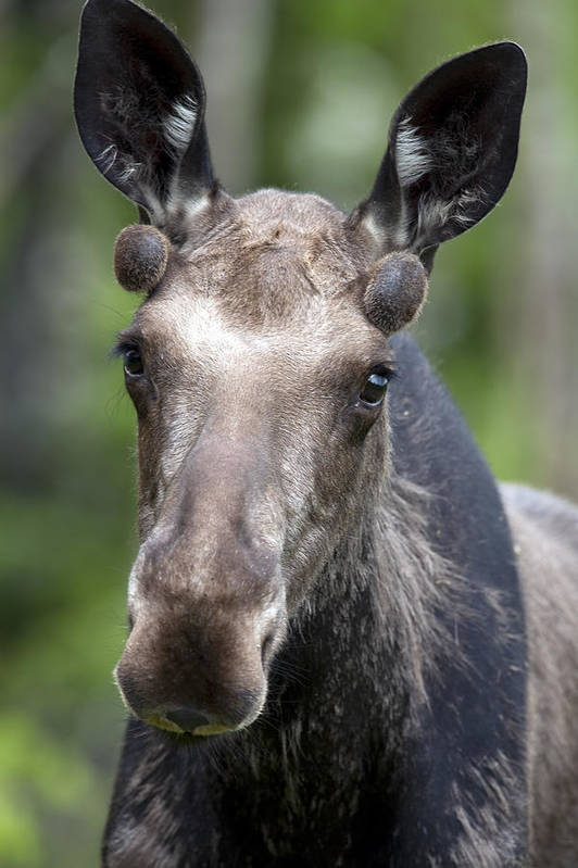 Antlers Poster featuring the photograph One Year Old Bull Moose With Growing by Philippe Henry