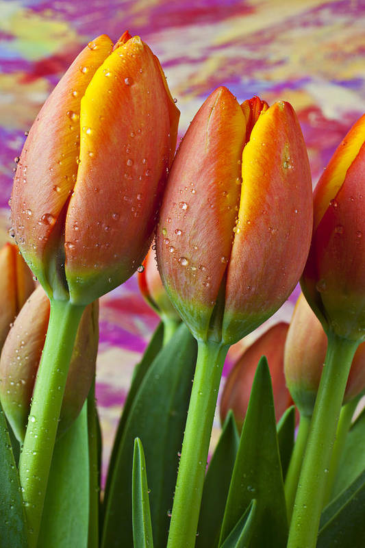 Orange Yellow Tulip Poster featuring the photograph Orange Yellow Tulips by Garry Gay