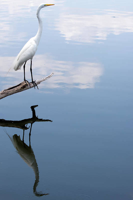 Vertical Poster featuring the photograph Reflecting Egret by John Simandl