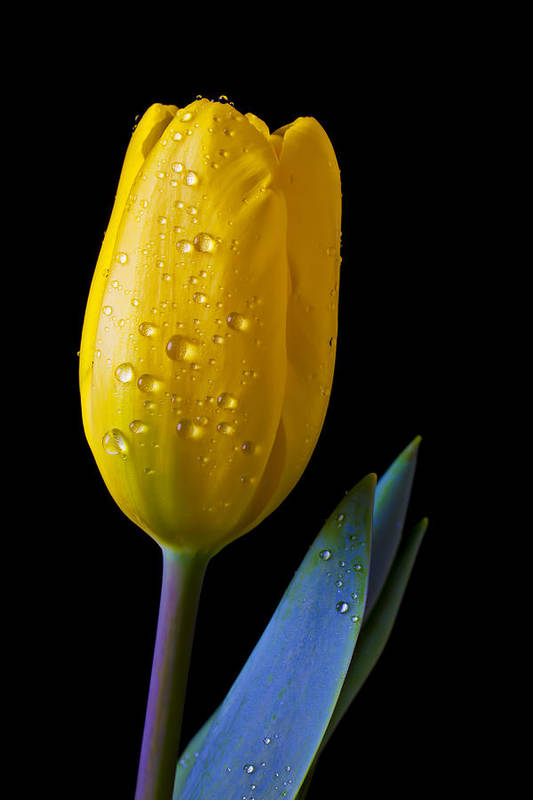 Single Yellow Poster featuring the photograph Single Yellow Tulip by Garry Gay