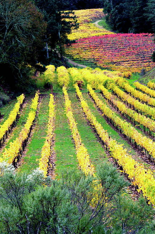 Vineyard Poster featuring the photograph Vineyard Sonoma 7 by Anthony George