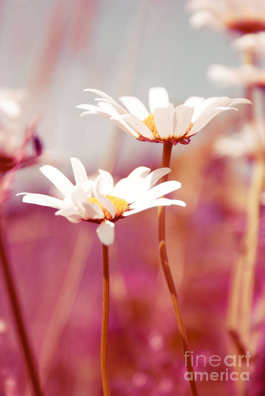 Daisies Poster featuring the photograph Xposed - S03 by Variance Collections