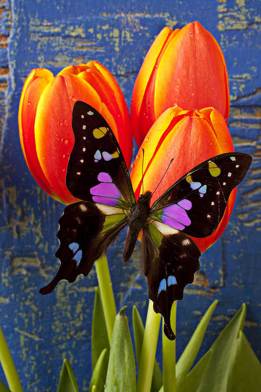 Butterfly Poster featuring the photograph Black And Pink Butterfly by Garry Gay