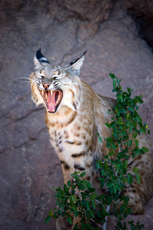 Animal Poster featuring the photograph Bobcat Yawn by Randall Ingalls