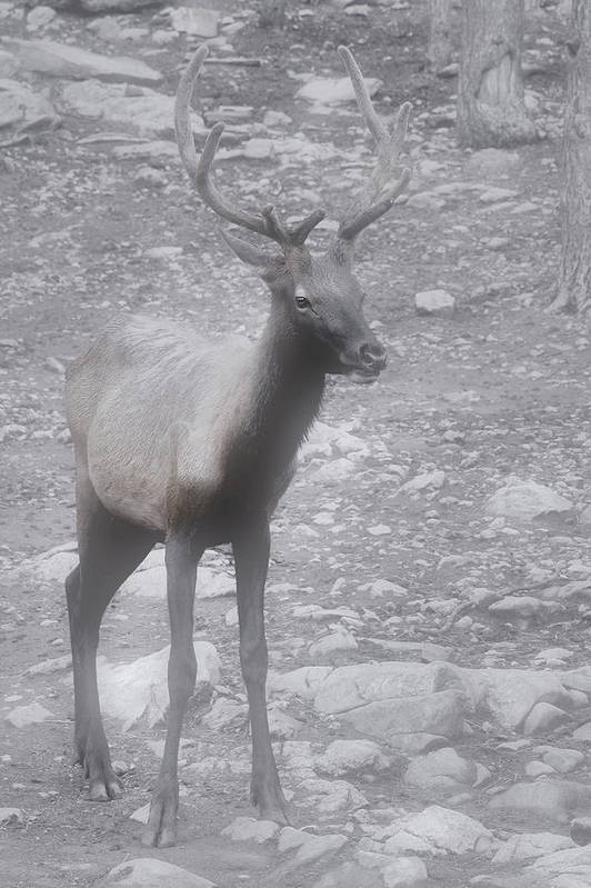 Buck Poster featuring the photograph Buck In Fog On Hurricane Ridge - Olympic National Forest - Olympic National Park Wa by Christine Till