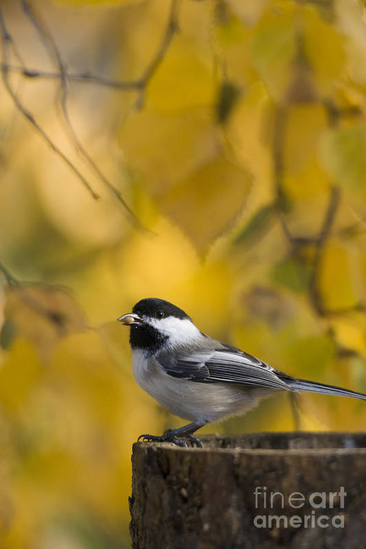 Chickadee Poster featuring the photograph Chickadee On A Log by Tim Grams