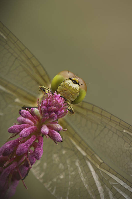 Dragonfly Poster featuring the photograph Common Darter Dragonfly by Andy Astbury