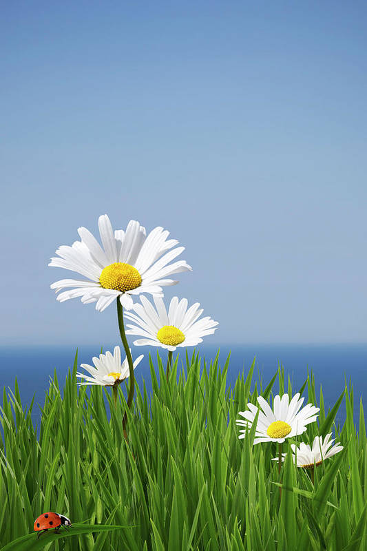 Vertical Poster featuring the photograph Daisies On A Cliff Edge by Andrew Dernie