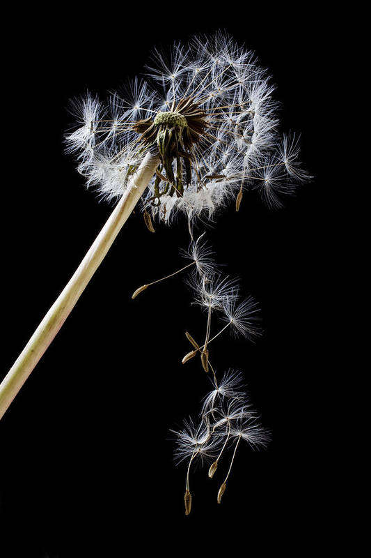 Dandelion Loosing Seeds Poster featuring the photograph Dandelion Loosing Seeds by Garry Gay