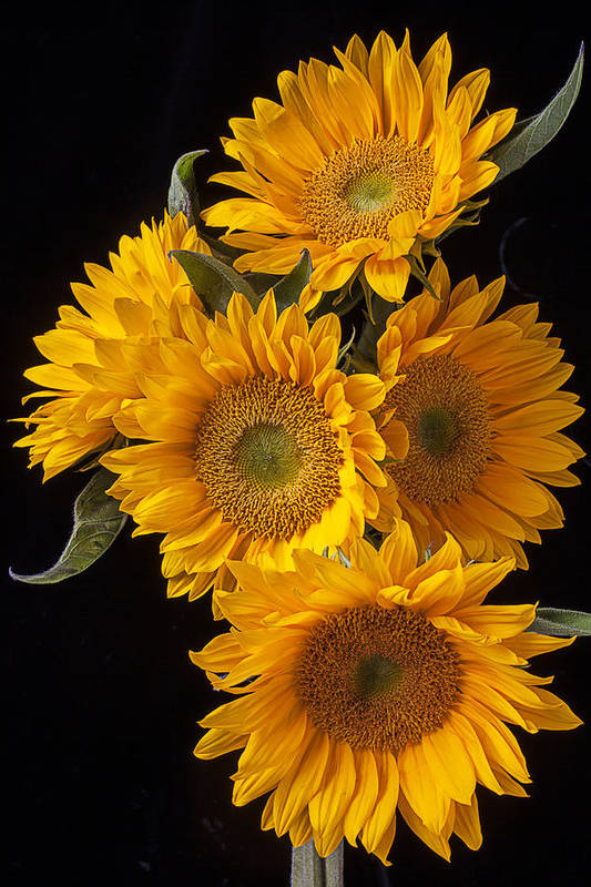 Five Poster featuring the photograph Five Sunflowers by Garry Gay