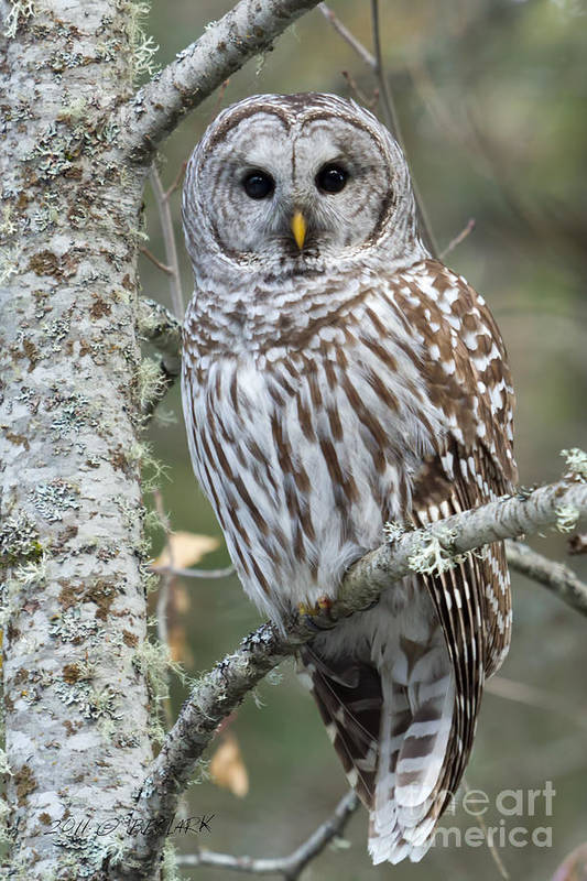 Barred Owl Poster featuring the photograph Hoot Hoot Hoot Are You by Beve Brown-Clark Photography